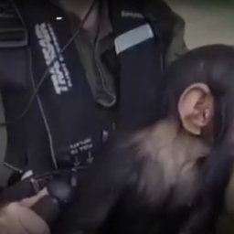 Baby chimp rescued from poachers in Africa rated a 5