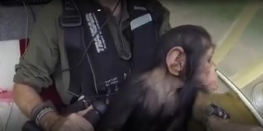 Baby chimp rescued from poachers in Africa
